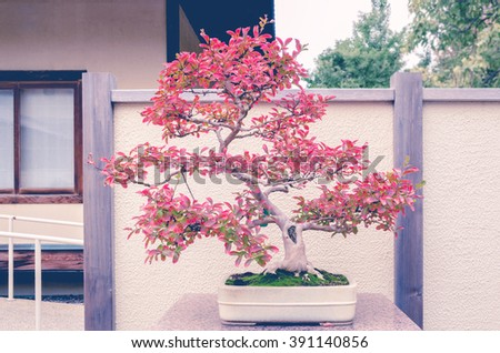 Crepe Myrtle bonsai tree with split toning retro filter - stock photo