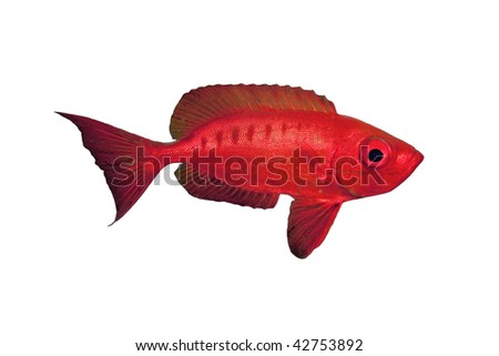 Crescent-tail Bigeye isolated - stock photo
