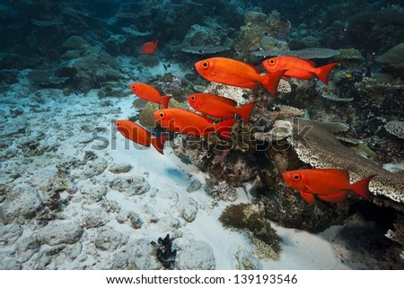 Crescent-tail Bigeye (Priacanthus hamrur) on a tropical coral reef in Ulong Channel off the islands of Palau in Micronesia. - stock photo