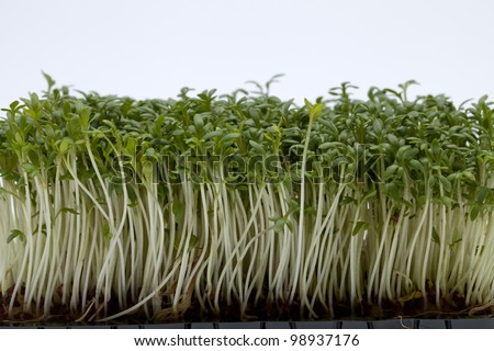 Cress seedlings isolated on white backgroun