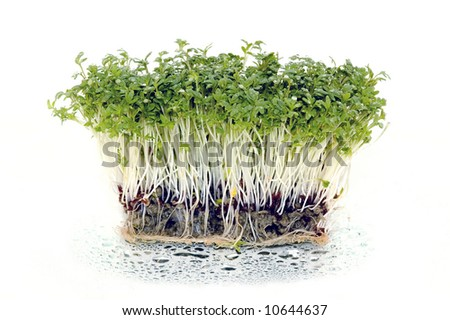 Cress, watercress salad - stock photo