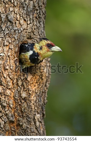 Crested Barbet coming out of nest; Trachyphonus vaiiantii