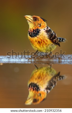 Crested barbet (very colorful bird) portrait, South Africa - stock photo