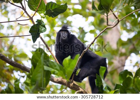 Crested black macacue, Macaca nigra, on the tree, Tangkoko National Park, Sulawesi, Indonesia
