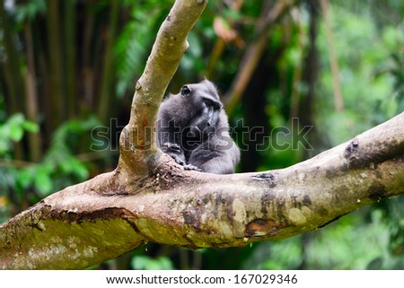 Crested Black Macaque sits on the branch