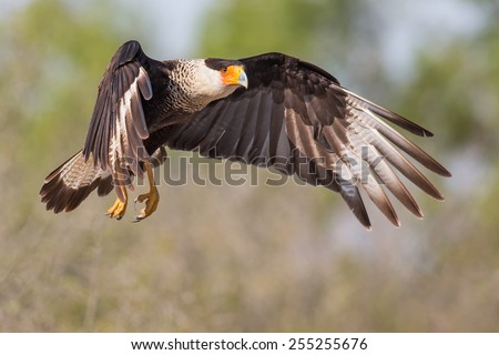Crested Cara-cara - stock photo