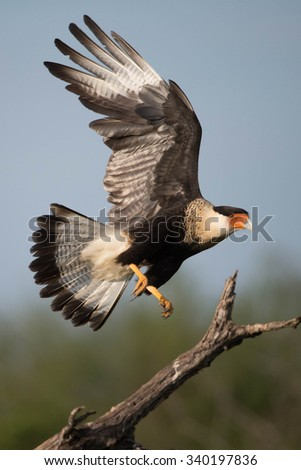 Crested Caracara in flight - stock photo