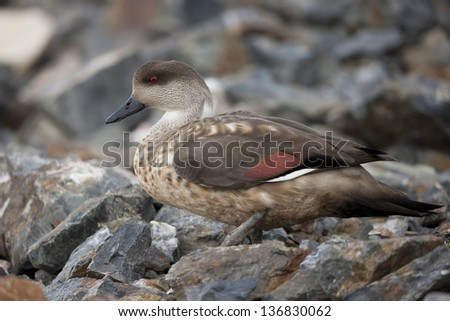 Crested Duck (Lophonetta specularioides specularioides) in Ushuaia, Tierra Del Fuego, Argentina - stock photo