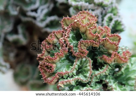 Crested Euphorbia, Coral Cactus succulent, kind of tropical plant. - stock photo
