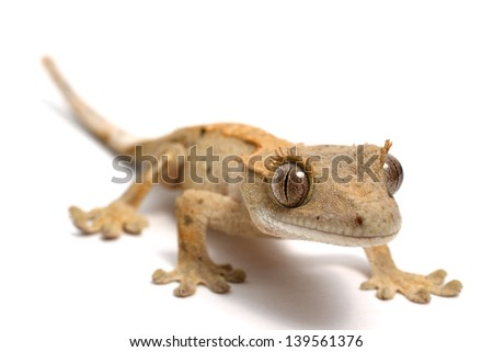 Crested Gecko on a white background - stock photo