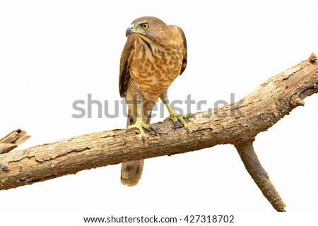 Crested Goshawk (Accipiter trivirgatus)/Beautiful falcon on the write background. - stock photo