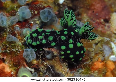 Crested Nembrotha nudibranch (Nembrotha cristata) on a coral reef