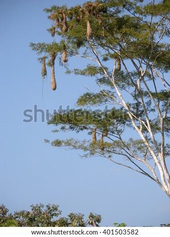 Crested Oropendola Nests Near Sandoval Lake, Puerto Maldonado Region, Peru - stock photo