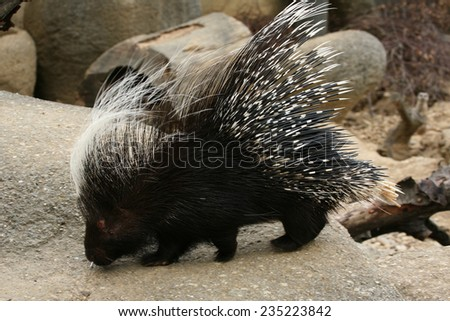 Crested porcupine (Hystrix cristata).  - stock photo