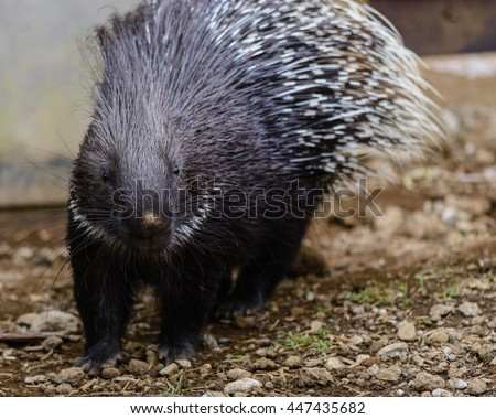 Crested porcupine (Hystrix cristata) or African porcupine - stock photo