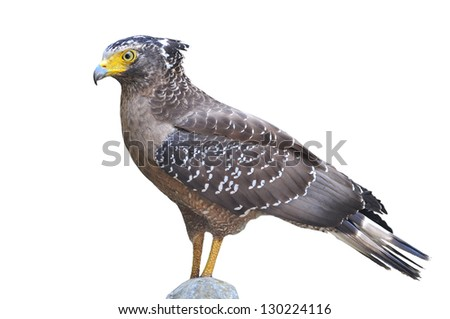Crested serpent eagle with clipping path - stock photo