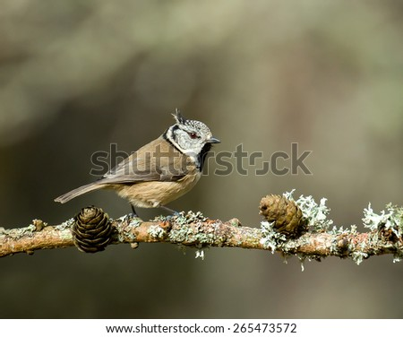 Crested Tit in the Scottish Highlands. - stock photo