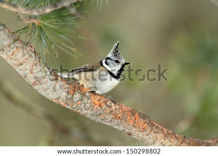 crested tit in winter - stock photo