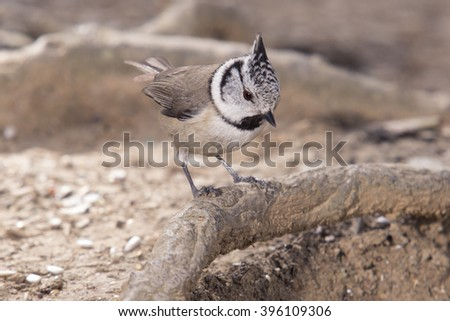 Crested tit (Parus cristatus)  - stock photo
