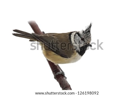 Crested tit (Parus cristatus) ) on a branch, isolated - stock photo