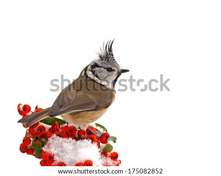 Crested tit (Parus cristatus) ) on a snowy cotoneaster branch - stock photo