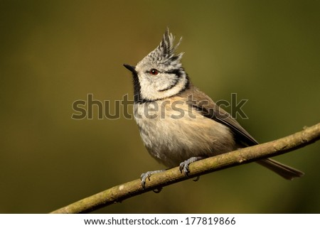 Crested Tit perched in its natural habitat. - stock photo