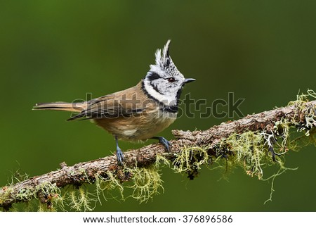 crested tit perched on a branch of larch with lichens