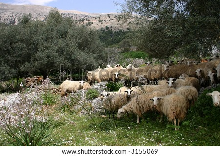 Crete sheeps in the midday - stock photo