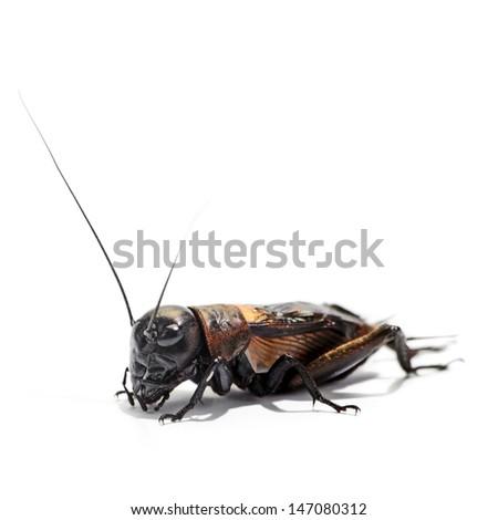 Cricket - stock photo