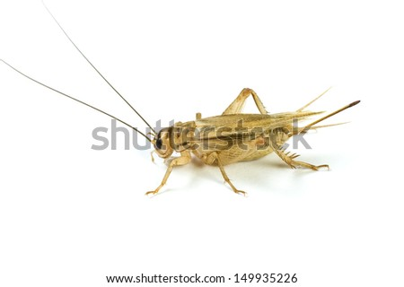 Cricket with soft shadow on a white background. - stock photo