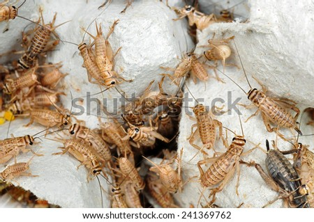 Crickets as live food for reptiles - stock photo