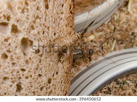 crickets feeding on old bread - stock photo