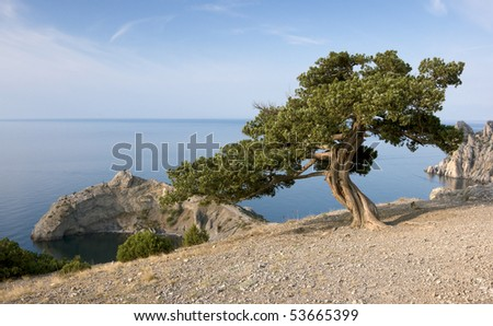 Crimea pine tree on mountain over sea coast