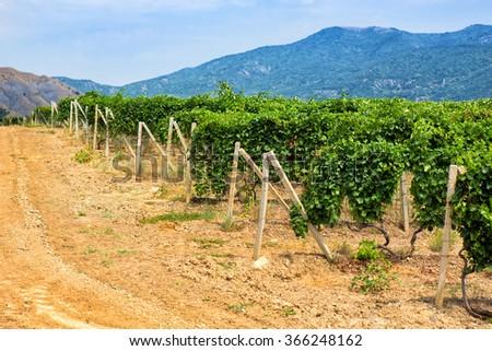 Crimea vineyard against mountains in summer - stock photo