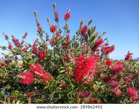 Crimson Bottlebrush (Callistemon citrinus) is a shrub in the family Myrtaceae. It is native to south-eastern Australia. - stock photo
