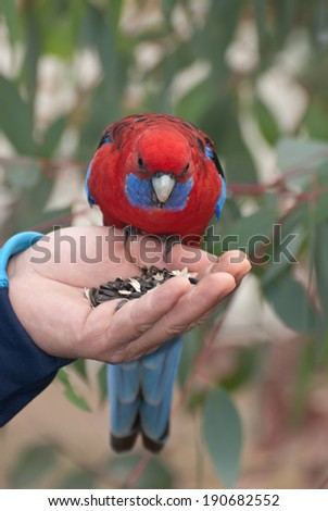 Crimson Rosella (Platycercus elegans) eats from hand in the nature - stock photo