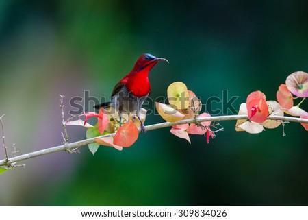 Crimson sunbird - stock photo