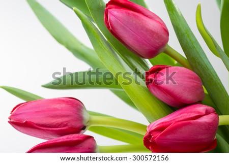 Crimson tulip flower on background - stock photo