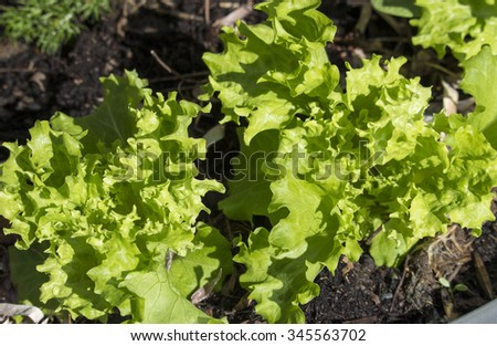 Crinkly light green  leaves of lettuce variety Frizzle add interest to the garden bed and make tasty healthy salads drizzled with olive oil mayonnaise in all seasons. - stock photo