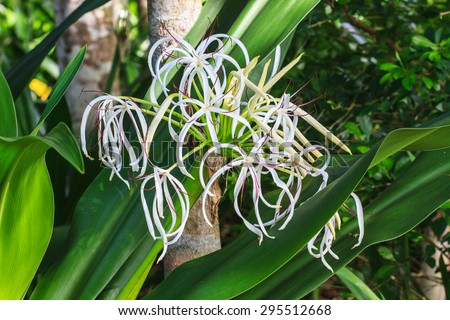 crinum lily flower cape lily spider stock photo edit now 295512668