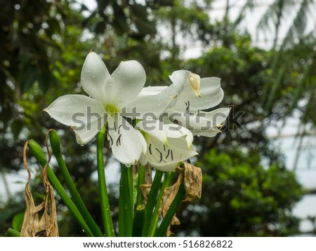 Crinum moorei is a herbaceous plant belonging to the family Amaryllidaceae, and native to South Africa