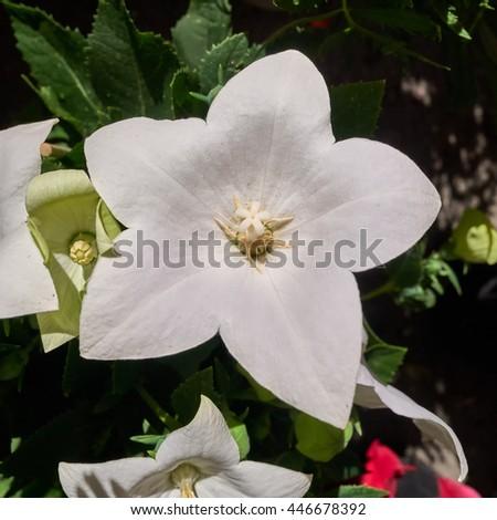 crisp white aster flower closeup in the garden - stock photo
