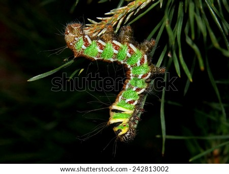 Critically endangered nocturnal Spanish Moon Moth caterpillar eating pine needles - a giant silk moth related to the Luna Moth (macro focus) - stock photo