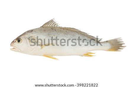 Croaker fish isolated on white background - stock photo