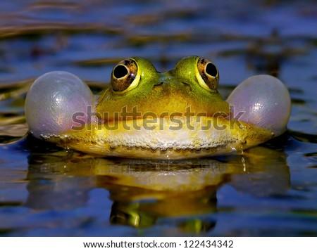 Croaking Bubble Frog - stock photo