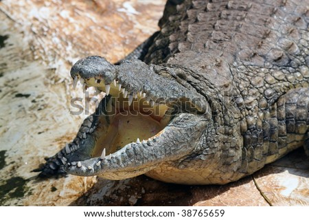 Crocodile - stock photo