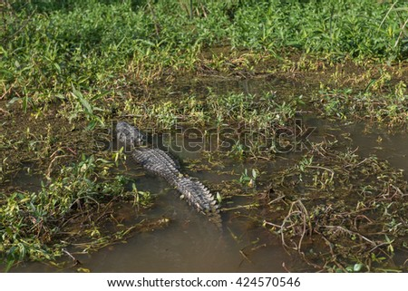 Crocodile and Honey Island Swamp Tour With Water and Tree in New Orleans, Louisiana - stock photo