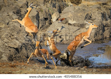 Crocodile attack on impala, Kruger National Park, South Africa - stock photo