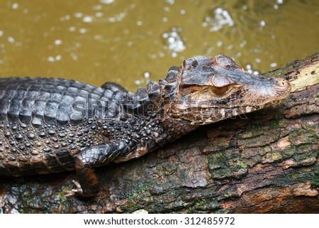 Crocodile baby - stock photo