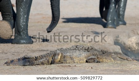 Crocodile Basking on the dry shoreline with blurred elephant legs in the background